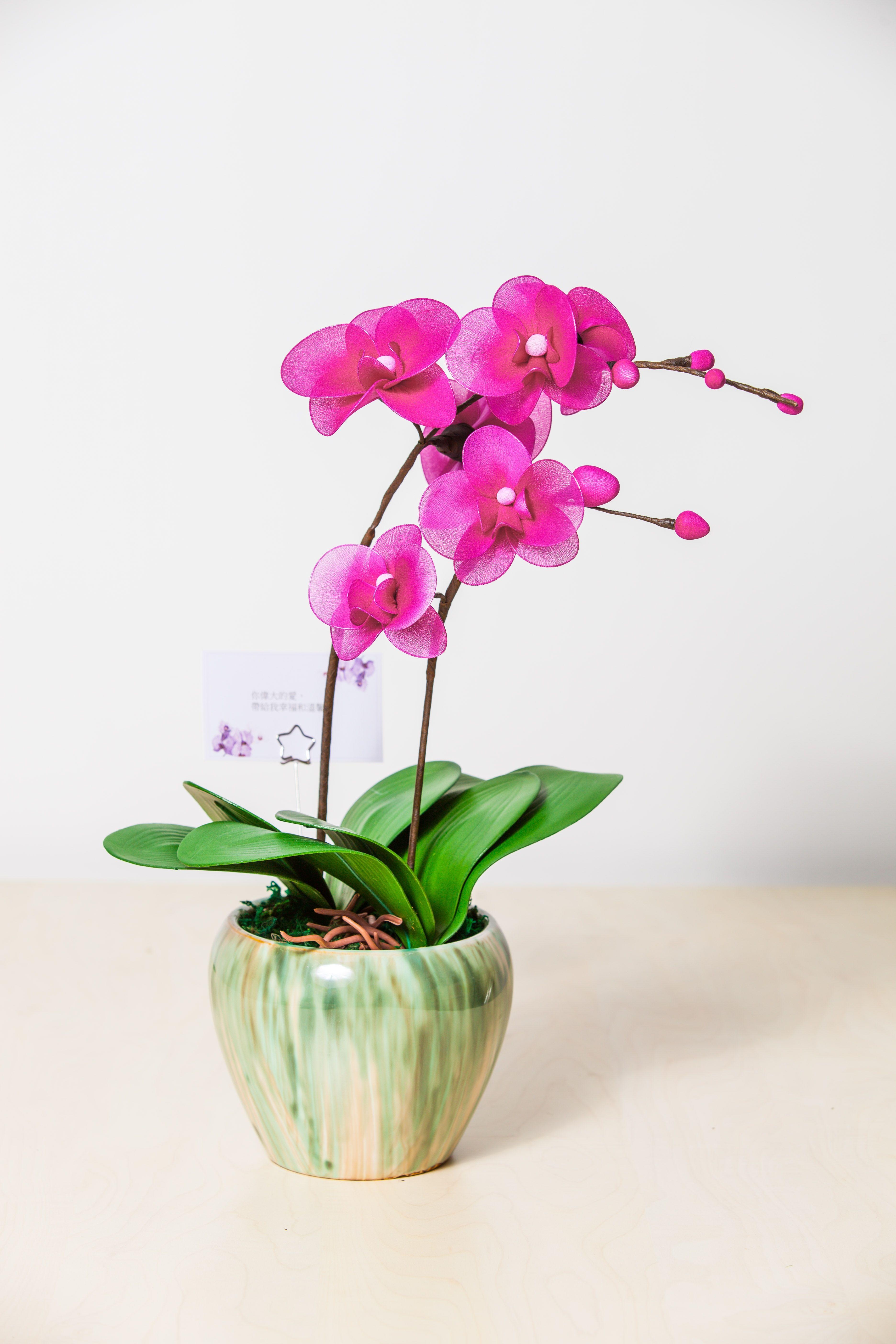蘭花(雙枝)盆栽